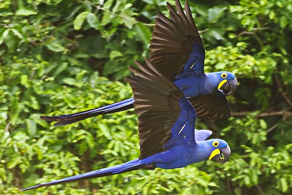 O drama das araras-azuis e outros animais sob risco de extinção e acuados pelo fogo no Pantanal