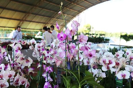 Até domingo população terá oportunidade de comprar flores de Holambra a partir de R$ 3,00