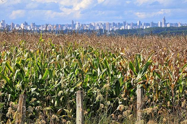 Milho safrinha deve ter redução de 50 mil toneladas no Estado