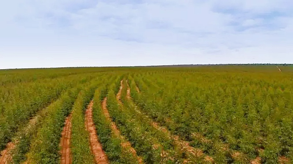 Apesar de queda, MS foi o maior produtor de celulose do país no ano passado