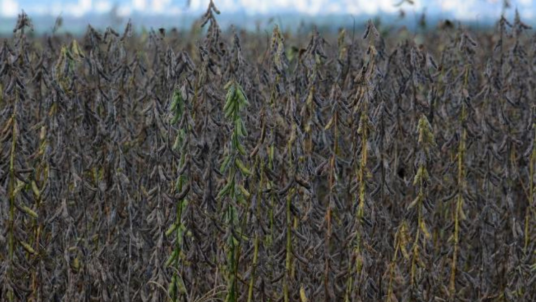 Excesso de chuvas gera atraso na colheita e prejuízos na safra