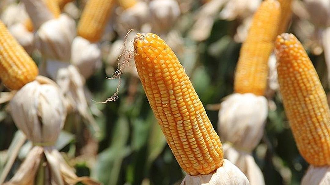 Preços do milho registram valorização de 70%