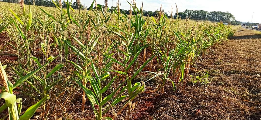 Falta de chuva compromete supersafra de milho e produtores já projetam perda de 40% da produção