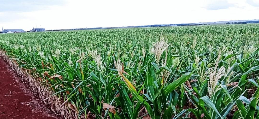 Garoa não livra produtores da perda de 40% da safra de milho
