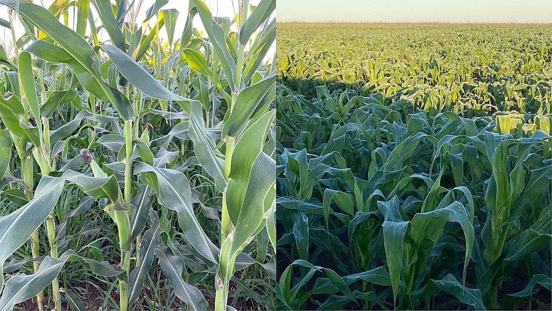 Com previsão de perda de até 50%, começa a colheita do milho safrinha